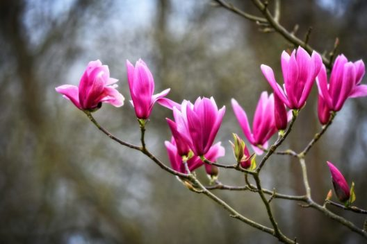 magnolia-3317190_1920